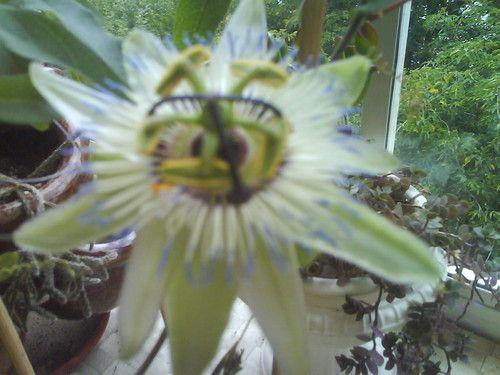 Є така квітка мирта скажіть до яких розмірів він виростає