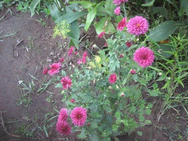 У якого сорту сенполій най-най-най великі квіти? :)
