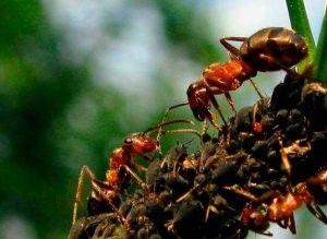 Чим харчуються мурахи в природі?