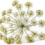 насіння кропу