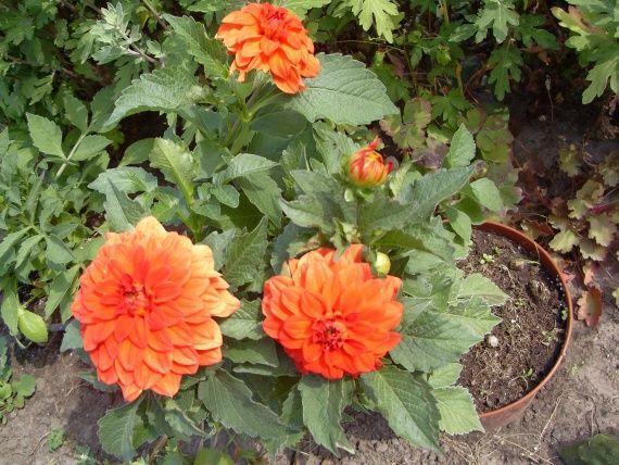 Живцювання карликових жоржин-заставу квітучої садиби, майстер-клас