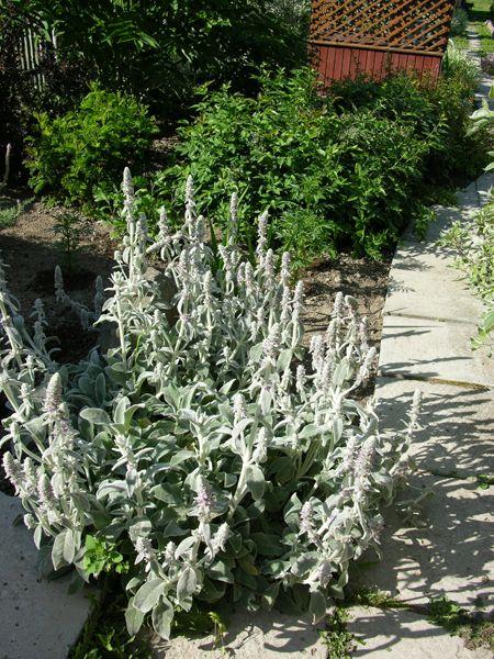 Чистець, баранячі вуха в дизайні саду, умови зростання і агротехніка