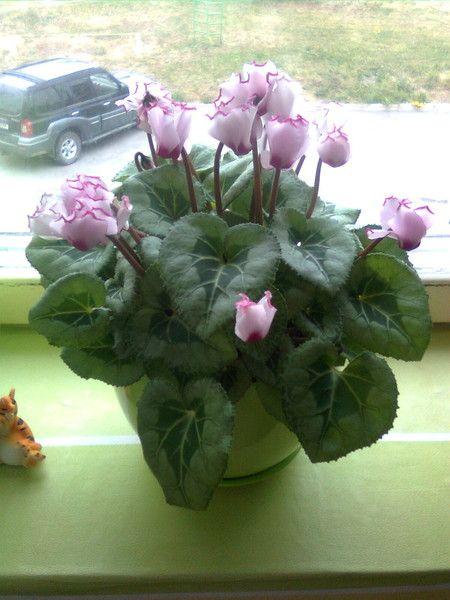 Підкажіть! Традесканція (квітка) - мені сказали що його не бажано тримати вдома, чи правда це?