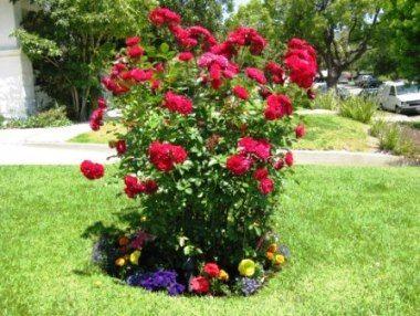 Троянди флорибунда опис фото сорти