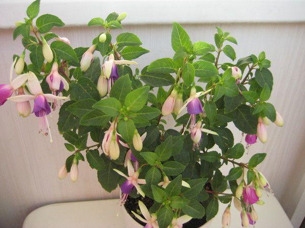Власниці фуксії який догляд за цією квіткою (тільки особистий досвід) посилання не цікавлять