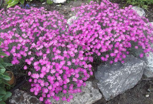 квіти для альпійської гірки