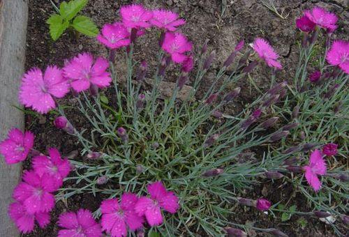 розмноження квітки у відкритому ґрунті