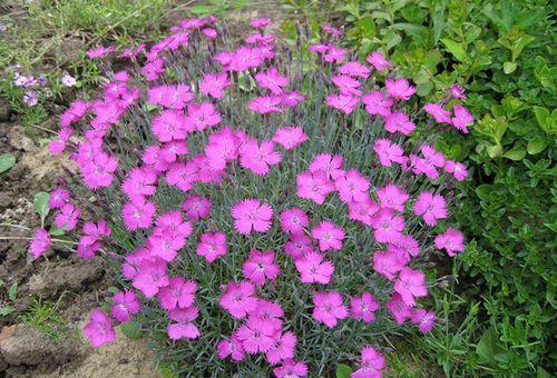 квітки альпійські