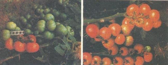 Що таке гібриди f, як їх отримують, чи можливо отримання продуктивних насіння від них