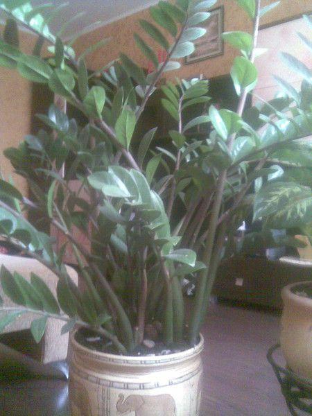 Чула, що гербера-отруйна растеніе.правда це? Хтось вирощує ці квіти вдома?