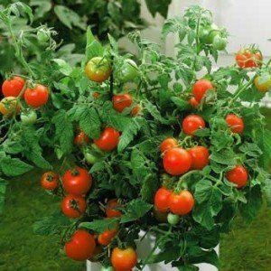 Чудовий сорт томата «ляна»: в чому його унікальність, опис, характеристики, фото