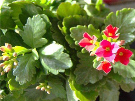 Чудо з мадагаскару - лікувальний суккулент каланхое і правила його вирощування