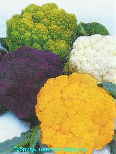 Цвітна капуста різнобарвна, сорти, агротехніка