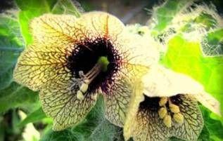 Гороскоп квітів