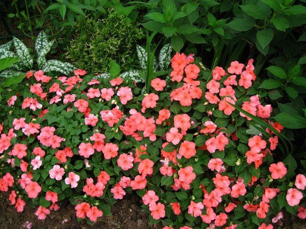 Посадка і догляд за рододендроном японським: як виростити, фото