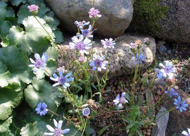 Квітка феліція забарвлений в незвичайний блакитний колір з легким відтінком бузку, догляд, розмноження