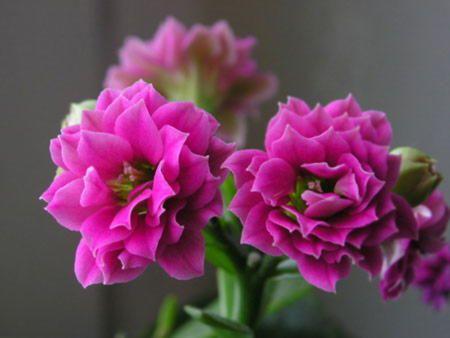 Квітучий каланхое: особливості догляду