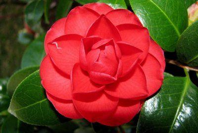 Квітучий кущ камелія: домашні види і сорти