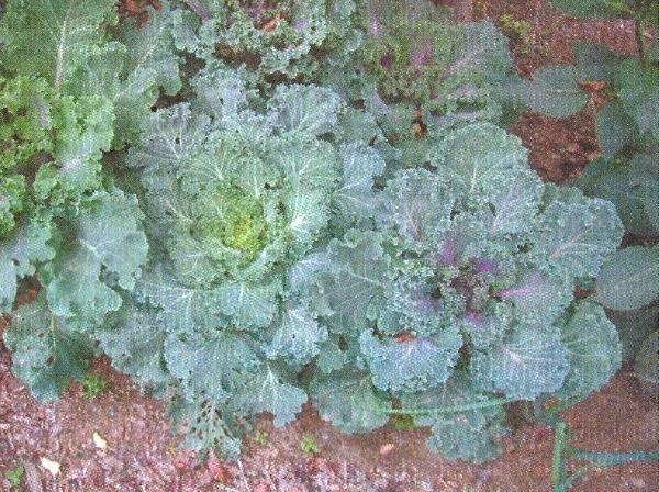 Декоративна капуста, сорти, агротехніка, декоративність і дієтичні властивості