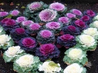 Декоративна капуста: вирощування
