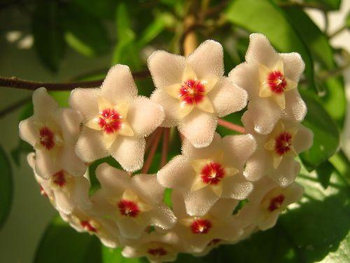 Декоративна рослина кодіеум петра. Догляд за ним в домашніх умовах