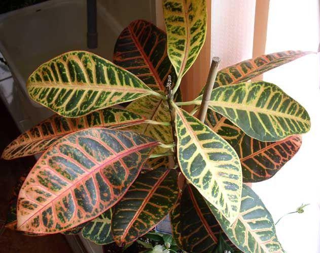 Суккулент граптопеталум: види, догляд та вирощування в домашніх умовах