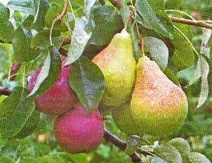 Дерево-сад: досвід щеплення