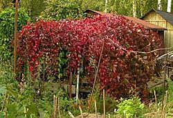 Дівочий виноград - перший серед ліан, культура, агротехніка