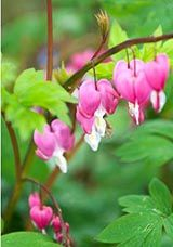 Дицентра або квітка Розбите серце