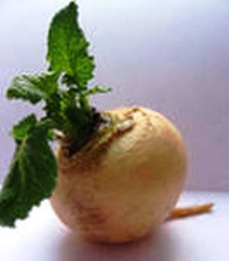 Ріпа - найдавніша на русі овочева культура