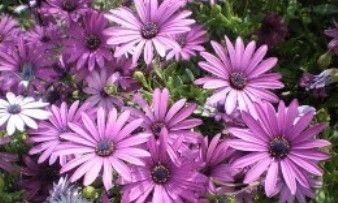 квіти діморфотека