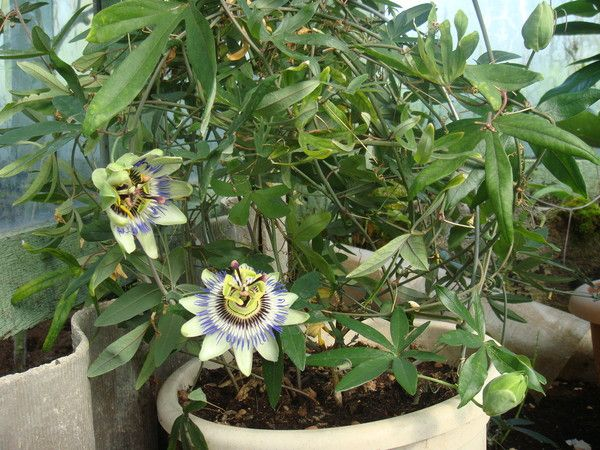 Чи можна вдома вирощувати рододендрон?