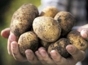 Домашній сорт картоплі «нікулінський»: вирощування, опис сорту, характеристика і фото
