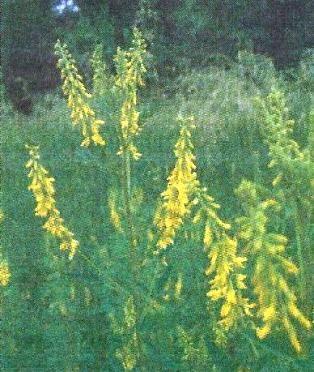 Буркун лікарський, його застосування в народній медицині, заготівля трави, препарати та настоянки з буркуну