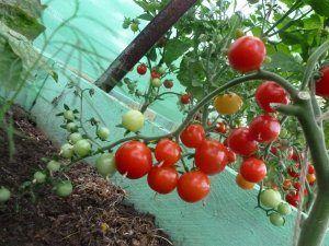 Особливості вирощування томата сортів черрі