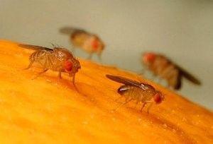 Дрозофіли: як позбутися від настирливих мух, пастки та інші засоби