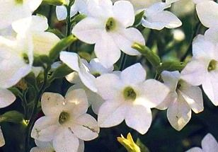 Запашний тютюн, вирощування квітів
