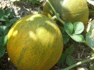 Диня на власному городі: вирощування і догляд