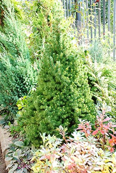 Ель коника - карликова ялина в дизайні саду