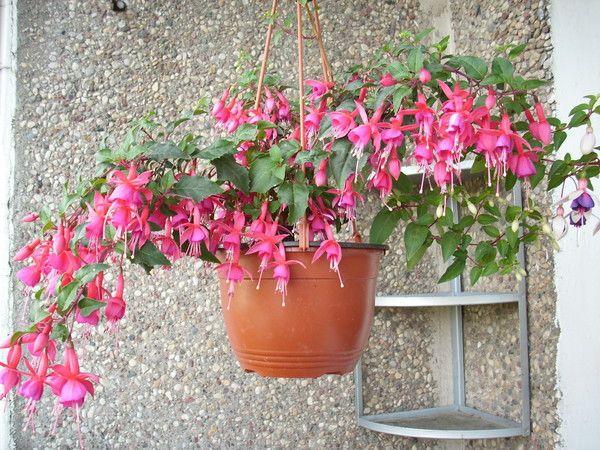 Якщо вдома росте і цвіте фуксія, чи можливо отримати насіння для розмноження?