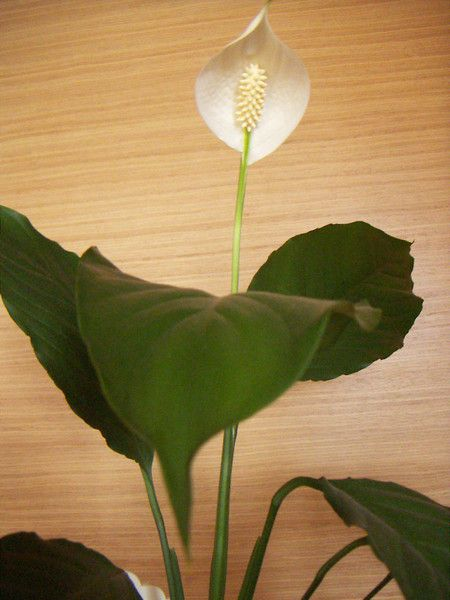 У спатифиллума чорніє листя