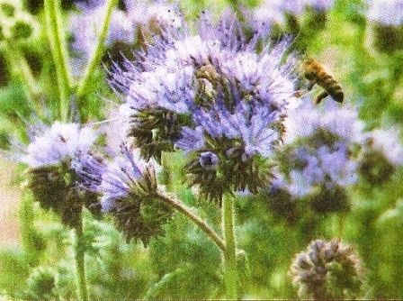 Фацелія -   медонос, сидерат і прикраса саду, догляд за фацелією