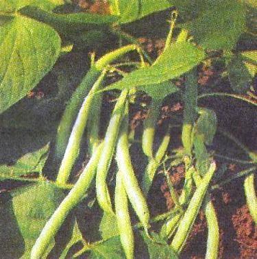 Квасоля овочева, особливості агротехніки