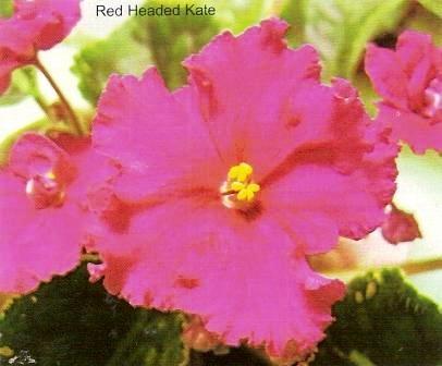 Фіалка кімнатна, або сенполія фіалкоцветная, узамбарская, догляд за квітами, розмноження