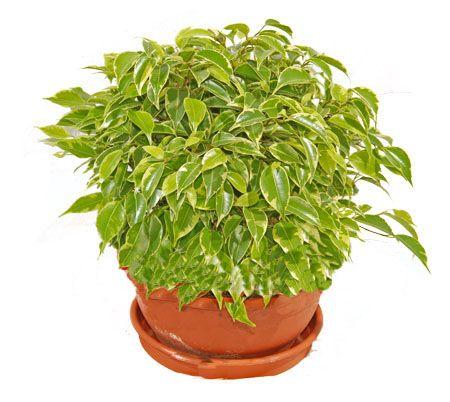 Фікус - тропічний квітка з характерним відходом в домашніх умовах