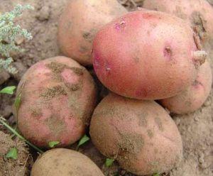 Сорт картоплі Тімо: особливості вирощування