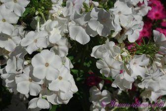 квіти флокси