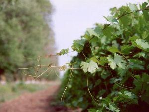 Формуємо самостійно виноградну лозу