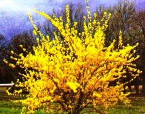 Форзиція: посадка, догляд, цвітіння взимку, опис, фото