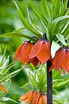 Фрітіллярія (fritillaria) або рябчик
